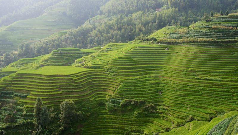 Rice fields china 1