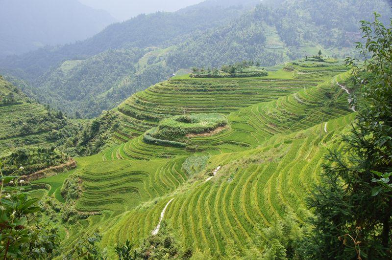 Rice fields china 31