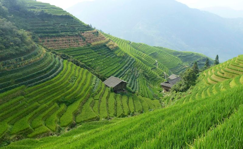 Rice fields china 40