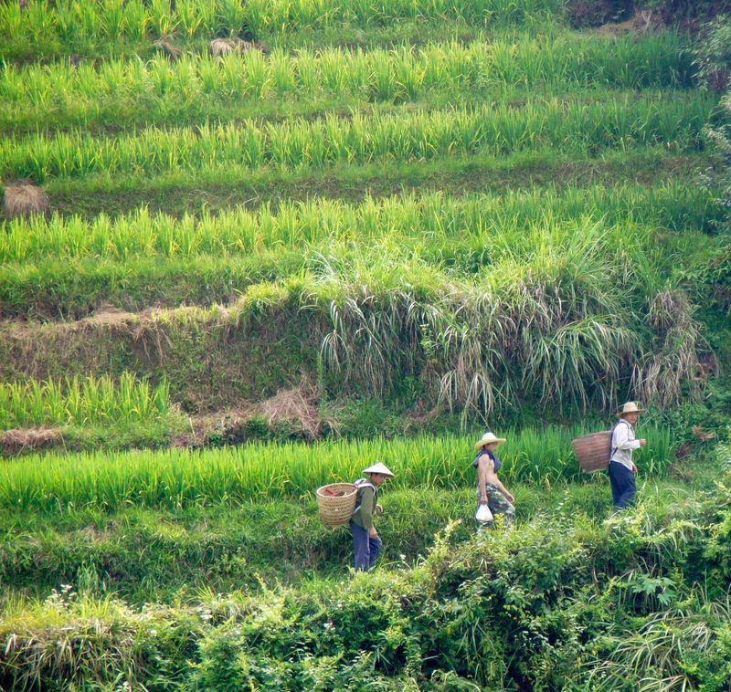 Rice fields china 17