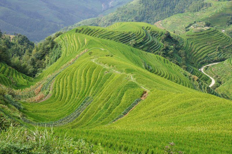 Rice fields china 19