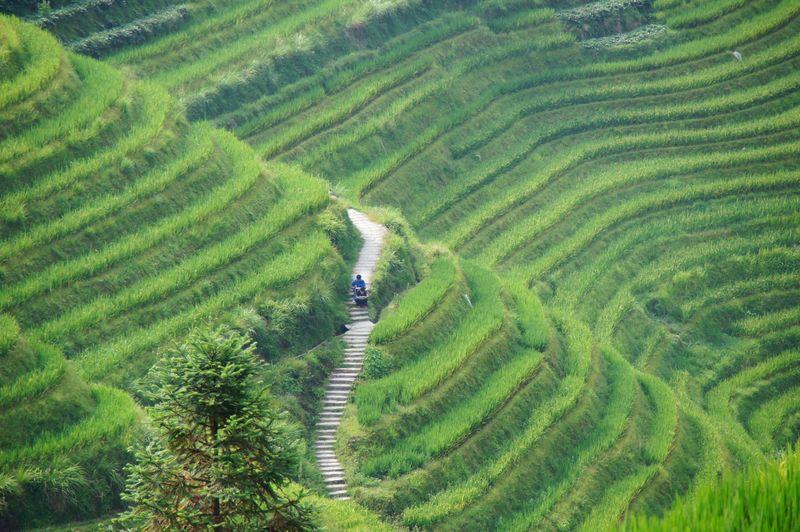 Rice fields china 16