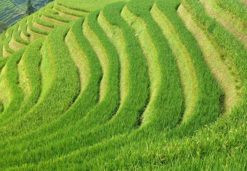 Rice fields china 39