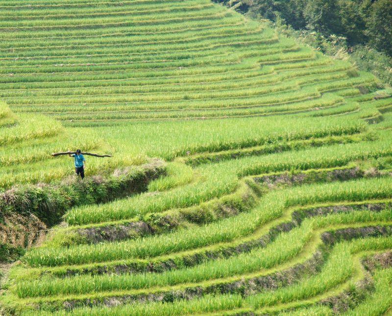 Rice fields china 36