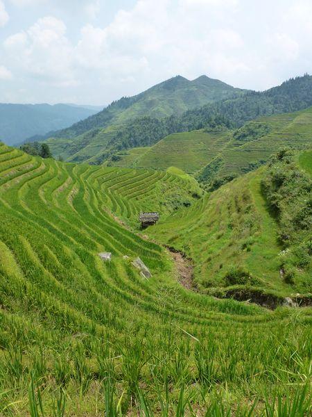 Rice fields china 45
