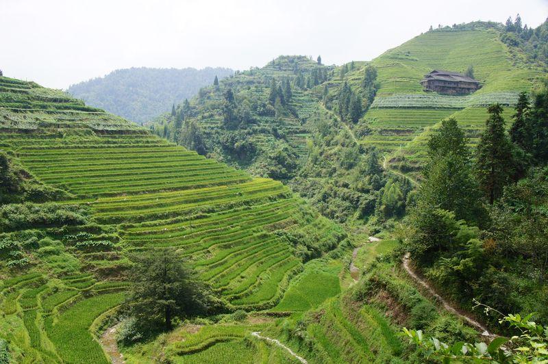 Rice fields china 30