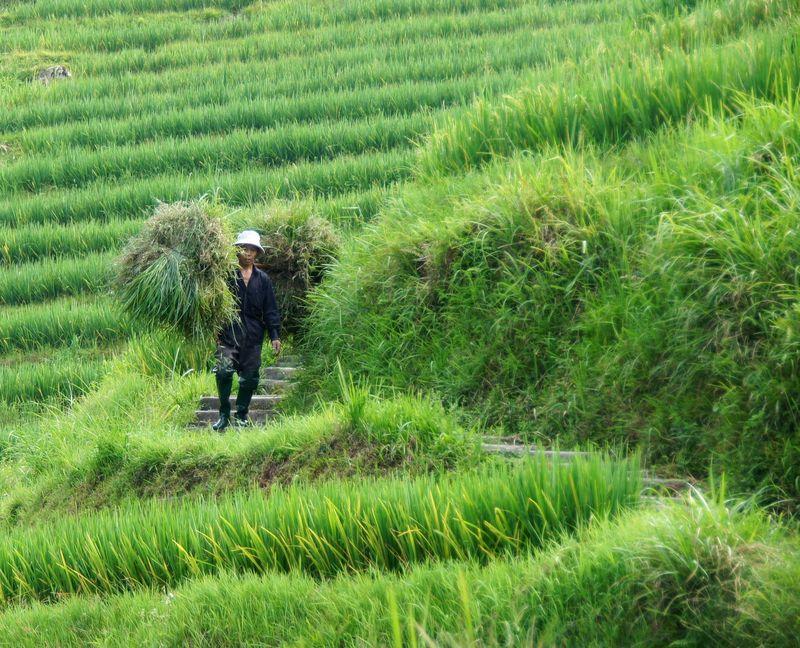 Rice fields china 15