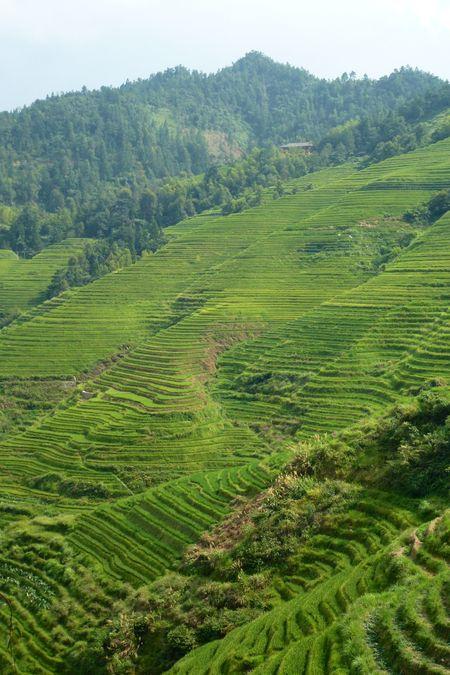 Rice fields china 49