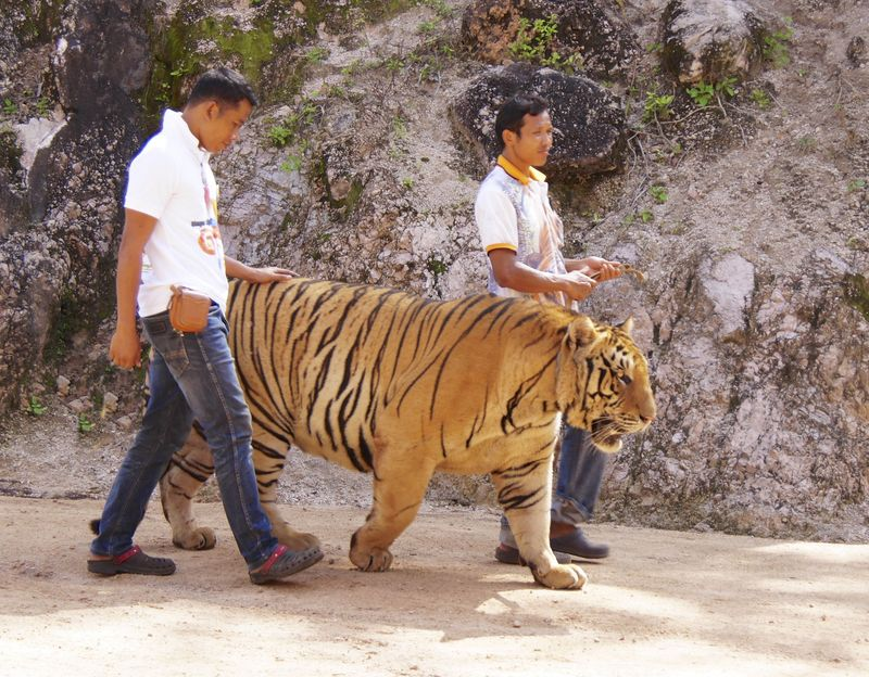 Tiger temple 129