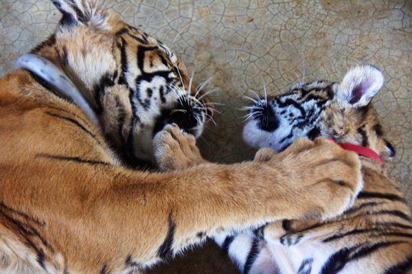 Tiger park 24