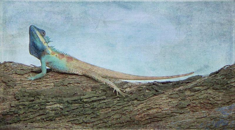 Lizard chaing mai1