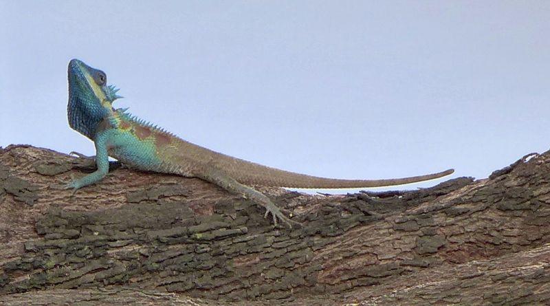 Lizard chaing mai org