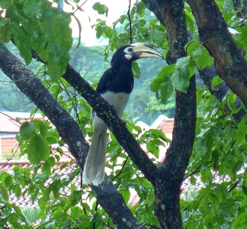 Hornbill1